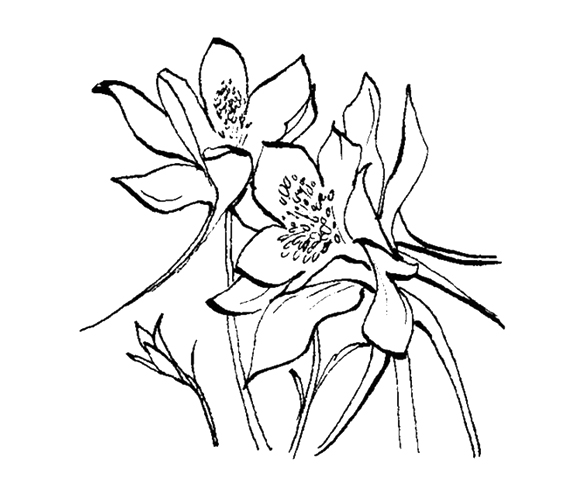 Columbine Flower Line Drawing : New arcadian journal illustrator